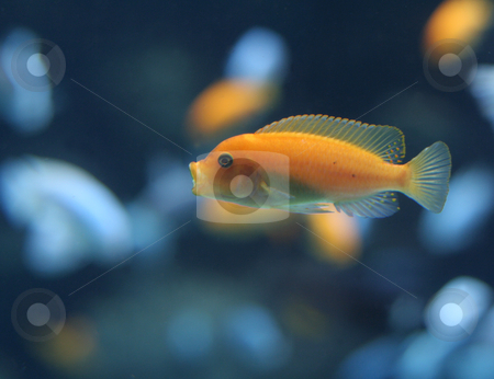 Orange Cichlid stock photo, An orange cichlid with it's mouth wide open. by Chris Hill