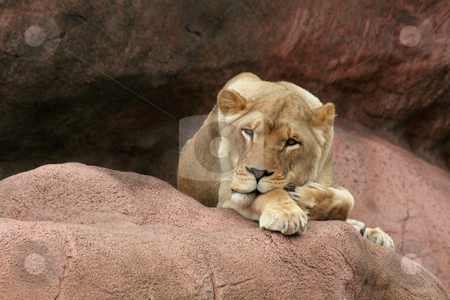 I See You stock photo, A lioness just waking up on a large rock.  by Chris Hill