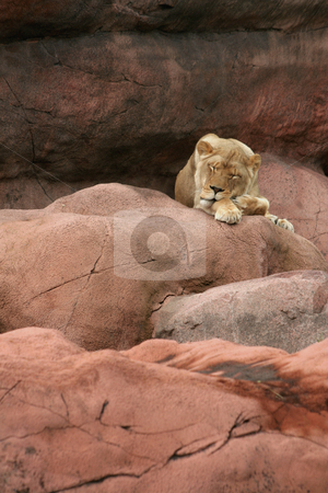 Sleeping Lioness stock photo, A sleeping lioness on a large rock.  by Chris Hill