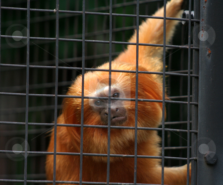 Caged Golden Lion Tamarin stock photo, A Golden Lion Tamarin looking at the camera from in a cage.  by Chris Hill