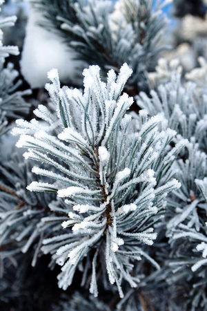 Pine tree branches covered with snowfrost stock photo, Pine tree branches covered with snowfrost close up by Tatjana Keisa