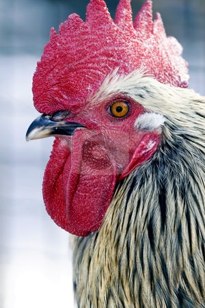 Rooster stock photo, A profile of a rooster or cockerel with a red comb close-up by Tatjana Keisa
