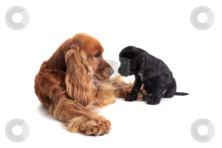 Puppy english cocker and adult stock photo, portrait of a puppy purebred english cocker  and adult in studio by Bonzami Emmanuelle