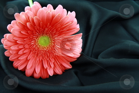 Pink bright  Gerbera on a silk background stock photo, Pink bright  Gerbera on a silk background by Olga Kriger