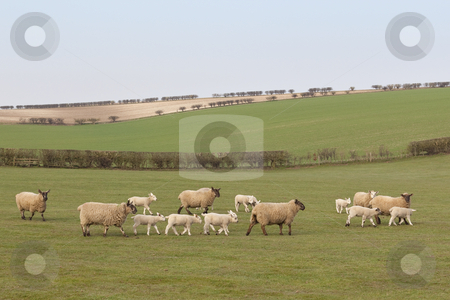 Sheep and lambs  stock photo, an english landscape with a flock of sheep and lambs in springtime under a blue sky by Mike Smith