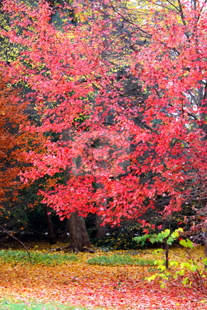 Autumn tree stock photo, Bright pink color autumn tree in the park by Sreedhar Yedlapati