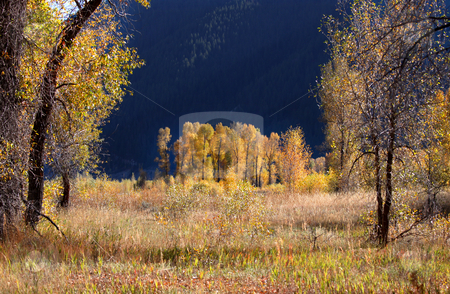 Cotton woods stock photo, Beautiful cottonwoods in a state park of Wyoming by Sreedhar Yedlapati