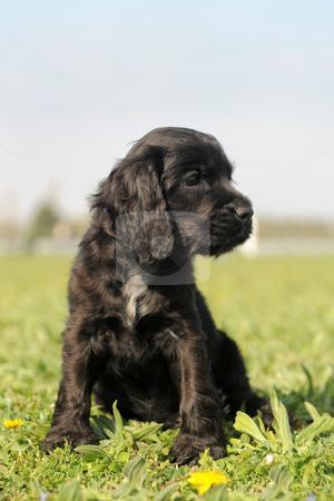 Puppy english cocker stock photo, portrait of a puppy purebred english cocker in a field by Bonzami Emmanuelle