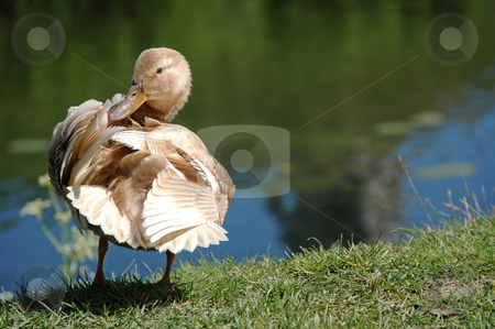 Duck stock photo, Sweet duck by a lake  by Lars Christensen