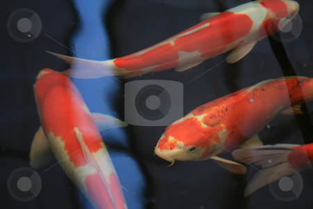 Big orange and white Japanese koi carp fish stock photo