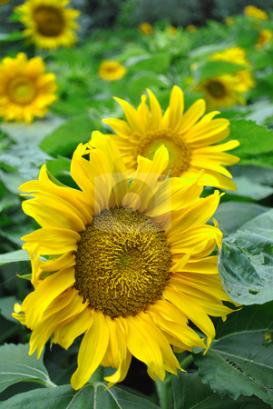 Sunflower stock photo, sunflower yellow flower with delicate petals in summer by freeteo