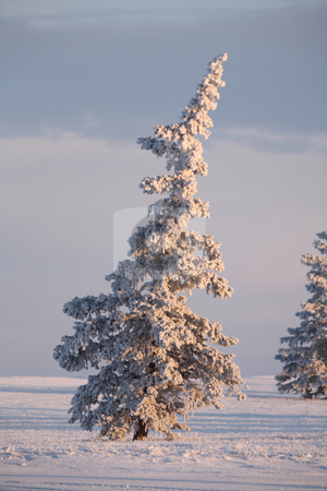 Frost covered Spruce trees stock photo, Frost covered Spruce trees by Mark Duffy