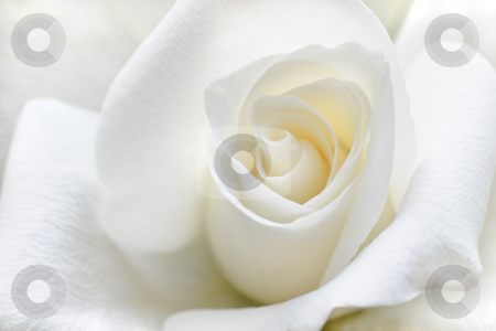 Soft white rose stock photo, Beautiful rose with soft white petals in close view by Colette Planken-Kooij
