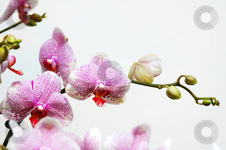 White orchid with pink spots stock photo, The pink spot orchid over white background by Tito Wong