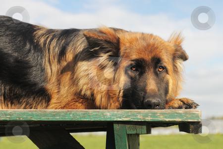 sad german shepherd stock photo, portrait of a cute sad purebred german shepherd,  by Bonzami Emmanuelle