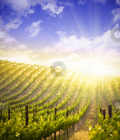 Beautiful Lush Grape Vineyard and Dramatic Sky stock photo, Beautiful Lush Grape Vineyard In The Morning Mist and Sun with Room for Your Own Text. by Andy Dean