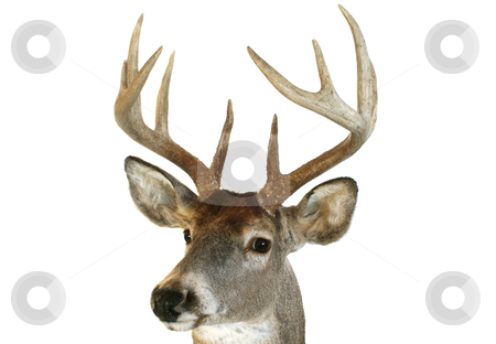 Whitetail head close up quartering towards stock photo, Close up of a whitetail deer head looking towards the viewer at an angle. by David Schliepp
