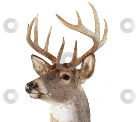 Whitetail Deer Head Looking Left stock photo, A closeup of a whitetail deer looking towards the left by David Schliepp