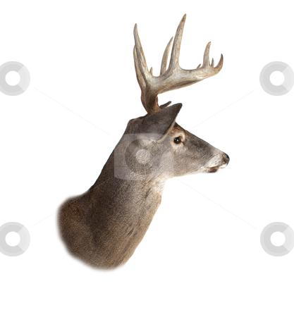 Whitetail Buck Deer Head Profile stock photo, A profile of a whitetail deer buck isolated on white. by David Schliepp