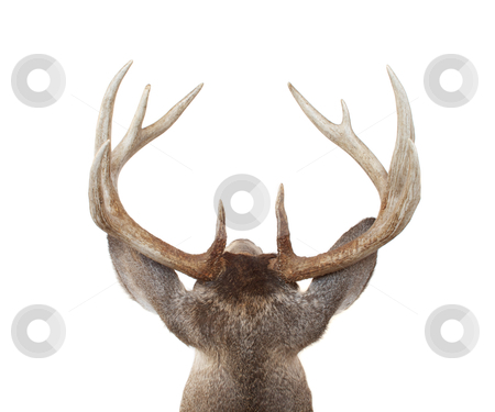 Whitetail Deer Head from Above and Behind stock photo, Looing at a Whitetail buck from above and behind by David Schliepp