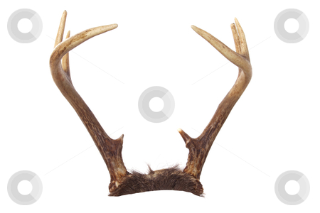 Whitetail Deer Antlers Ready to Add to your Animal stock photo, A set of whitetail deer antlers isolated on white that you can easily add to your favorite animal.  Great for putting on pets or rabbits (jackalope)! by David Schliepp