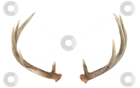 Rear View of Whitetail Deer Antlers stock photo, Rear View of Whitetail Deer Antlers isolated on white by David Schliepp