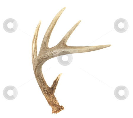 Angled Whitetail Deer Antler stock photo, An angled view of a whitetail deer antler isolated on white by David Schliepp