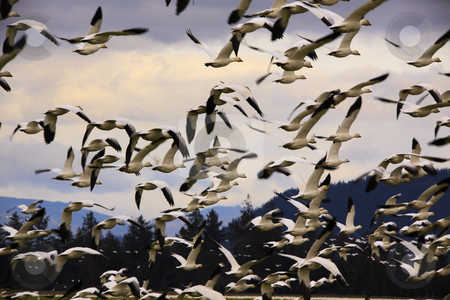 Hundreds of Snow Geese Flying Off stock photo, Hundreds of Snow Geese Flying Off Skagit County Washington   by William Perry