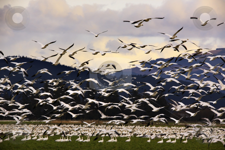 Thousands of Snow Geese Flying to Clouds  stock photo, Thousands of Snow Geese Flying To Clouds   by William Perry