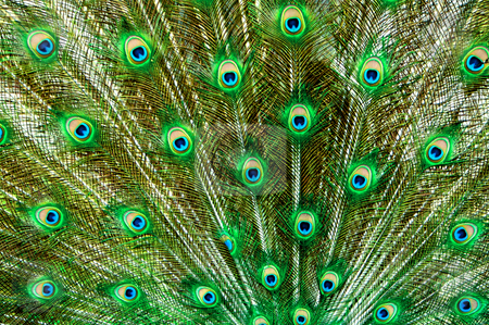 Peacock Feathers stock photo, Peacock tail feathers in green and blue by Vividrange
