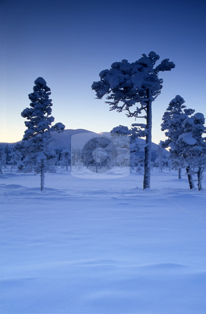 Snowy and frost trees stock photo, Beautiful snowy and frost trees in mountain by Ingvar Bjork