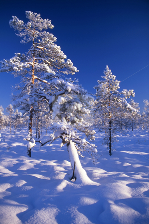 Snowy trees stock photo, Beautiful snowy trees in field  with blue sky and sunshine by Sasas Design