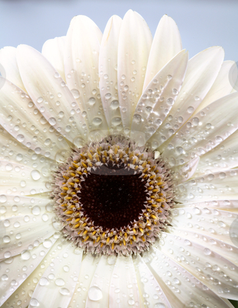 Macro close up of a daisy flower stock photo,  by Mark Duffy