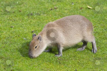 Capybara stock photo,  by Dejan Lazarevic