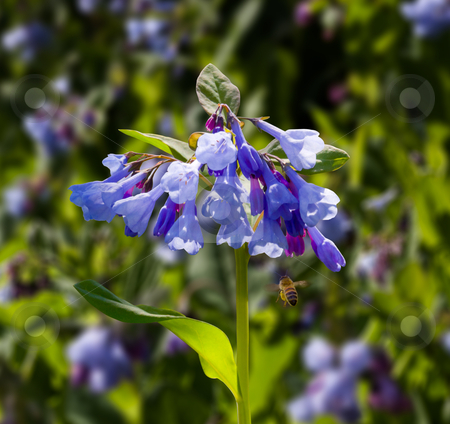 Close up of bluebells in April stock photo, Fresh wild bluebells in a forest in the spring as the blooms start to blossom and a bee pollinates the flower by Steven Heap