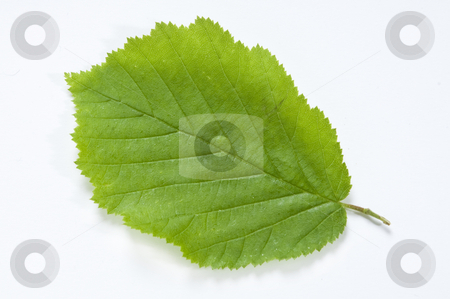 Beech Leaf stock photo, A new Beech Leaf on clean white background with drop shadow by russwitherington