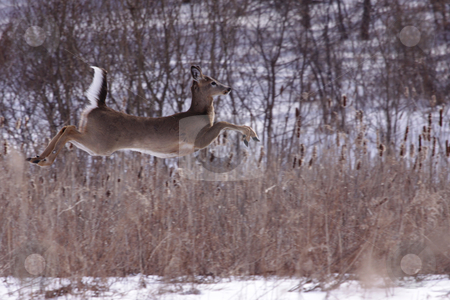 Flying Deer stock photo, A white-tailed deer (Odocoileus virginianus) in mid-jump, across a snow covered field in Ontario, Canada.  by Chris Hill