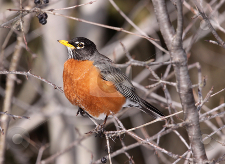 Robin Perched stock photo, A american robin perched in a tree.  by Chris Hill