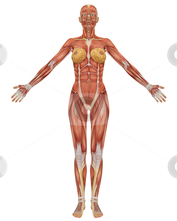 Front View of the Female Muscular Anatomy stock photo, Front view of the female muscular anatomy, isolated on a solid white background. Very educational. by Randall Reed