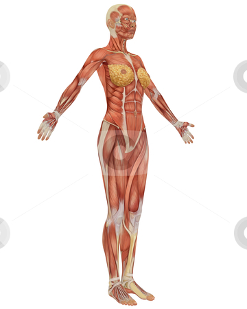 Side View of the Female Muscular Anatomy stock photo, Side view of the female muscular anatomy, isolated on a solid white background. Very educational. by Randall Reed