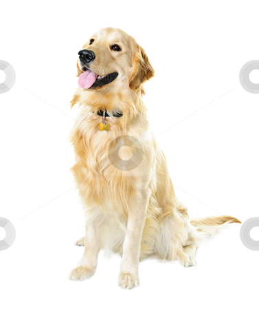 Golden retriever dog stock photo, Golden retriever pet dog sitting isolated on white background by Elena Elisseeva