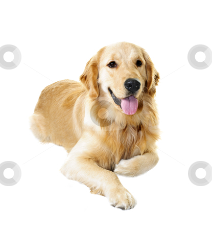 Golden retriever dog stock photo, Golden retriever pet dog laying down isolated on white background by Elena Elisseeva