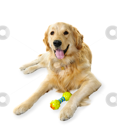 Golden retriever dog stock photo, Golden retriever pet dog laying down with toy isolated on white background by Elena Elisseeva