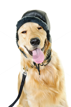 Golden retriever dog wearing winter hat stock photo, Funny golden retriever dog wearing winter hat  isolated on white background by Elena Elisseeva