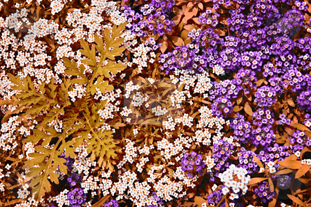 White and purple rock cress flowers stock photo, Colorful white and purple rock cress ground cover plants in a garden by Elena Elisseeva