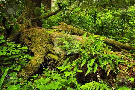 Lush temperate rainforest stock photo, Lush foliage on fallen tree in temperate rain forest. Pacific Rim National Park, British Columbia Canada by Elena Elisseeva