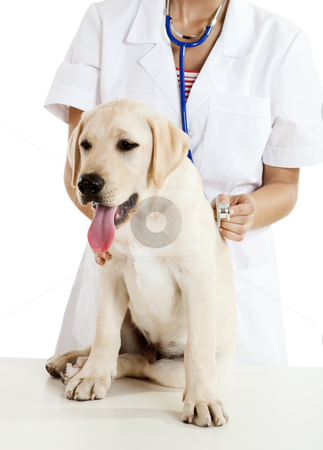 Veterinay taking care of a dog stock photo, Young female veterinary caring of a cute beautiful dog  by ikostudio