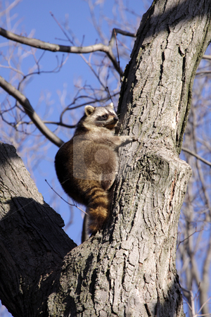 Perched Raccoon stock photo, A raccoon (Procyon lotor) perched in a tree.  by Chris Hill