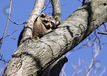 Raccoons in Tree stock photo, Two raccoons (Procyon lotor) perched in a tree. (nose of the 2nd one is visible)  by Chris Hill