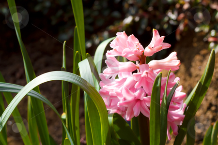 Pink hyacinth stock photo, pink hyacinth in spring garden in sunny day by Artush